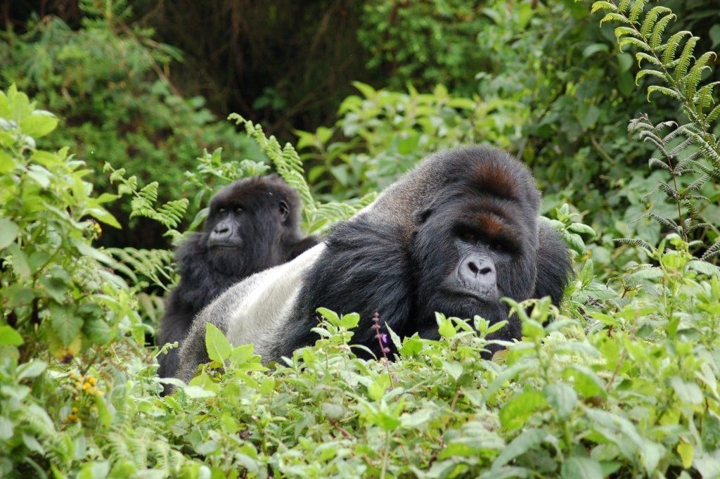 Parco della foresta impenetrabile di Bwindi, Uganda