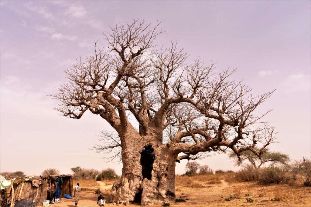 albero-di-baobab