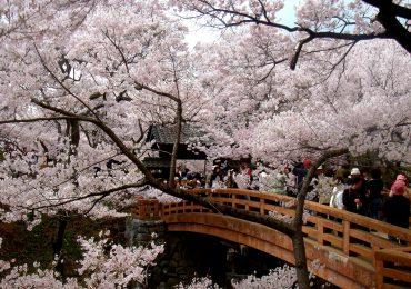 ciliegi in fiore Japan