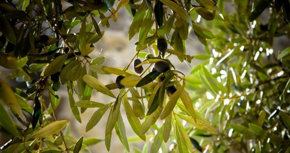 estratto di foglie di olivo